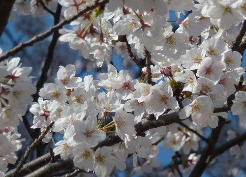 Cherry Blossoms White Spring Sakura